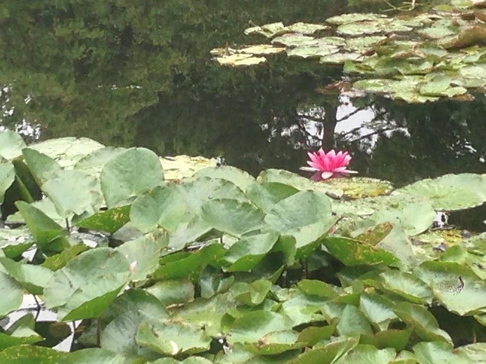 lilies3
